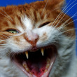 Fangs wild ginger cat — Stock Photo