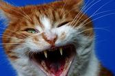 Fangs wild ginger cat — Stock Photo