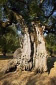 Tronco del viejo olivo — Foto de Stock