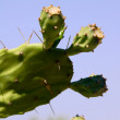 Paddle cactus — Stock Photo