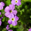 Geranium — Stock Photo #30099643