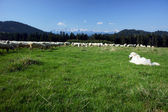 Tatra Shepherd and flock of sheep — Stock Photo