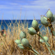 Grasses and tubers growing on the dunes — Stock Photo