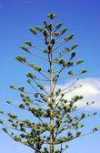 Pijnboom — Stockfoto