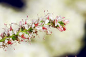 Tamarisk — Stock Photo