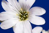 Cerastium — Stock Photo