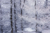 Snow-covered branches of trees — Foto Stock