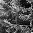 Frost on spruce branches — Stock Photo