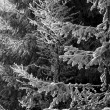 Frost on spruce branches — Stock Photo #34608443