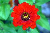 Fiore rosso zinni — Photo