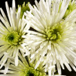 White chrysanthemum Bristle — Stock Photo