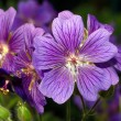 Geranium — Stock Photo #35695887