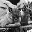 Caracal in zoo — Stock Photo