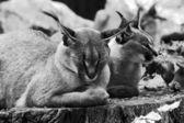 Caracal in zoo — Stock Photo