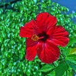 Stock Photo: Red Hibiscus
