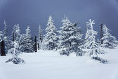 Snow-covered forest — Stock Photo