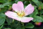Dzikiej róży kwiat — Zdjęcie stockowe