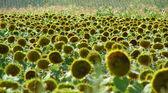 Sunflower field — Zdjęcie stockowe
