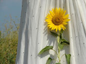 Sunflower with white dress — Stock Photo