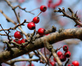 Rose hip berries on the twig — Stock Photo