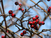 Rose hip berries on the twig — Photo