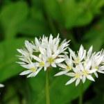 Wild garlic in flower — Stock Photo #44709129