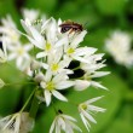 Wild garlic in flower — Stock Photo #44709133