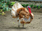 Turkey displaying his feathers — Stock Photo