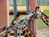 Young giraffes — Stock Photo