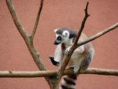 Ring-tailed lemur — Stockfoto