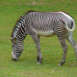 Grazing zebra — Stock Photo #47783801