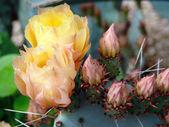 Cactus flower closeup — Stock Photo