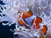 Clown fish hiding in colorful anemone — Stock Photo