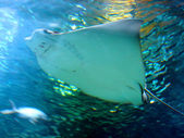 Stingray in the blue ocean — Stock Photo