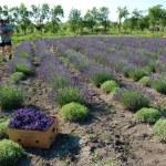 Man on lavender field — Stock Photo #47990209