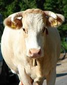 Closeup of cow — Stock Photo