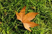 干燥的枫叶 — 图库照片