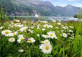 Daisy flowers near a lake — Stock Photo