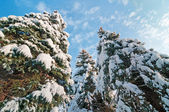 Spruce trees in winter — Stock Photo