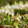 Spring snowdrops — Stock Photo #19474893