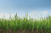 Line of grass — Stock Photo