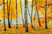 Birches in the fall park — Stock Photo
