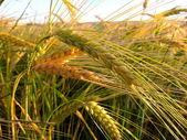 Wheat growing in a farm field — Stock Photo