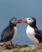 Two funny puffins — Stock Photo