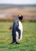 Pinguino imperatore — Foto Stock