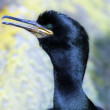 Stock Photo: Great cormorant