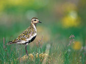 Golden Plover — Stock Photo