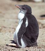 Chick emperor penguin — Stock Photo