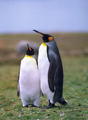 Colony of emperor pinguins — Stock Photo