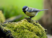 A photo of a songbird — Stock Photo